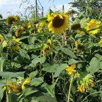 Sonnenblumen erfreuen Auge und Natur